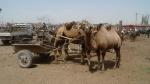 Kashgar, camellos bactrianos (2 jorobas) en el mercado dominical de ganado de Kashgar