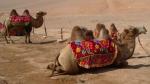 Camellos bactrianos de dos jorobas.