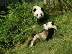 El panda gigante es una especie endémica de la provincia de Sichuan. En Juizhagou hay una colonia permanente.