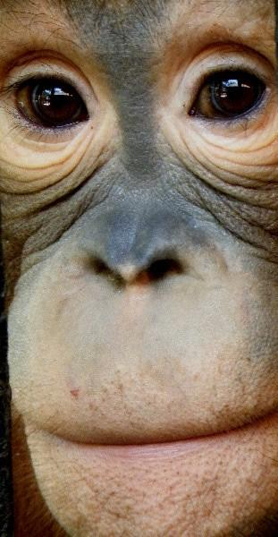La mirada del orangután