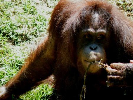 Orangutan de Borneo en el zoo de Surabaya