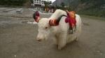 Extraño caso de un yak albino