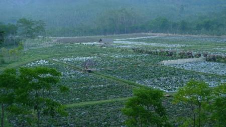 Plantaciones de te en el altiplano de Ijjen