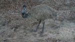 Emu, el avestruz australiano
