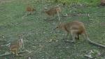 Canguros en el parque nacional Nitmiluk