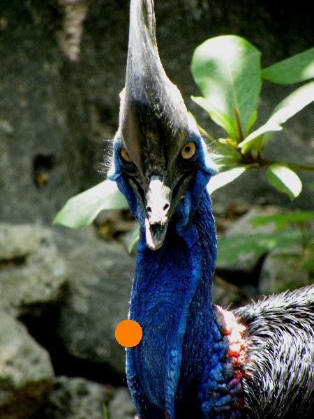 Cassowary una de las aves endémicas de australia y nueva guinea