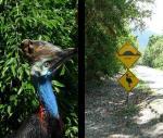 Cassowary y señal que advierte de la presencia de ellos