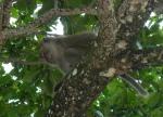 Mono en pulau pangkor