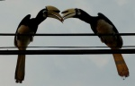 Hornbills Pulau Pangkor