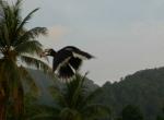 Hornbill Pulau Pangkor