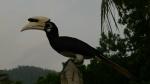 Hornbill en Pulau Pangkor